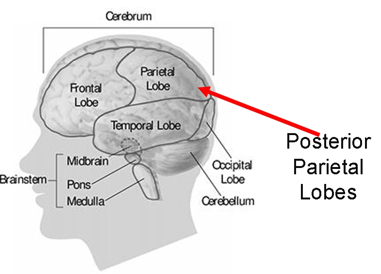 Image showing the location of the frontal and parietal lobes.