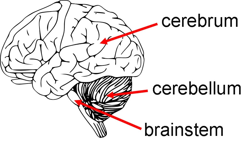Diagram of left side of the brain, with the cerebrum, cerebellum and brainstem indicated with red arrows.