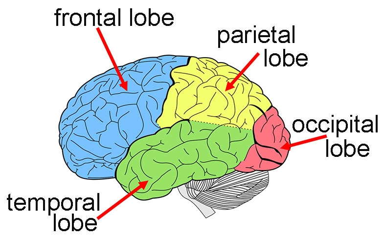 Diagram showing left side of the brain with the frontal lobe (coloured blue) parietal lobe (coloured yellow), temporal lobe (coloured green) and occipital lobe (coloured red), indicated with red arrows.