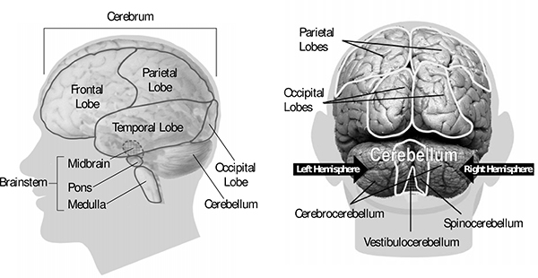Picture showing the locations of the occipital lobes in relation to the parietal lobes.  The posterior parietal lobes are at the bottom of the parietal lobes, where they meet the occipital lobes.  The dorsal stream runs from the occipital to the posterior parietal lobes.