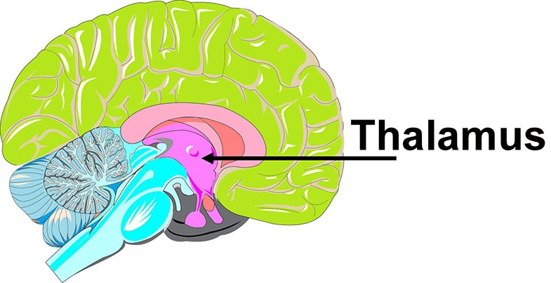 The pulvinar is in an area of the brain called the thalamus, which is deep inside the brain.
