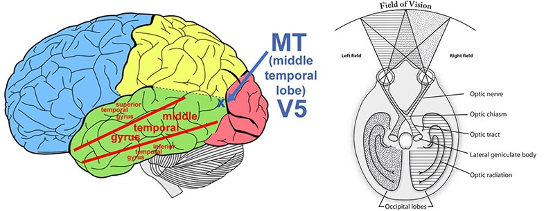 Diagrams showing the location of MT (left) and the LGN (right, called the lateral geniculate body on this diagram).