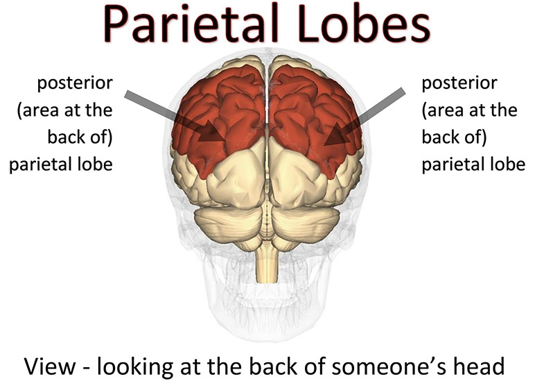 The parietal lobes (coloured dark red) with arrows indicating the area at the back, referred to as the posterior parietal lobes.